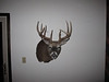 Another angle of the 2009 buck.  I don't think this mount was the right choice for him.  Doens't show off his long G2's
