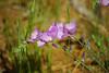 "Checkerbloom - Sidalcea malvaeflora<br /> <a href=""http://www.california-desert.org/pages/03flora/family/malvaceae/sidalcea_malvaeflora.htm"">http://www.california-desert.org/pages/03flora/family/malvaceae/sidalcea_malvaeflora.htm</a>"