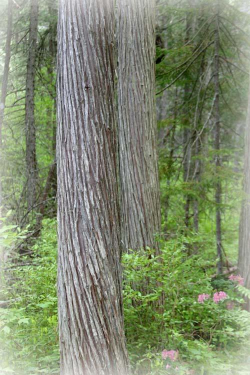 Morning Cedar