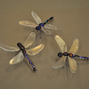 Dragonfly 4,5,6