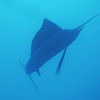 Sunday - first dive<br /> At about 40 feet we looked up and saw this sailfish