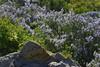 "Mountain Lilac<br /> <a href=""http://www.laspilitas.com/groups/ceanothus/california_ceanothus.html"">http://www.laspilitas.com/groups/ceanothus/california_ceanothus.html</a>"