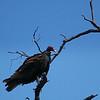 "Turkey Vulture<br /> <br /> <a href=""http://en.wikipedia.org/wiki/Turkey_Vulture"">http://en.wikipedia.org/wiki/Turkey_Vulture</a>"