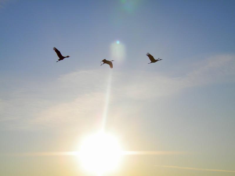 Sandhill cranes flying overhead.<br /> Sandhill Crane - Grus canadensis