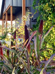 Purple Majesty Millet (Pennisetum glaucum)