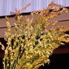 Broom corn (Sorghum vulgare)