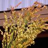 Broom corn (Sorghum vulgare)