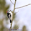 Downy Woodpecker - Picoides pubescens - no pattern for this one yet.