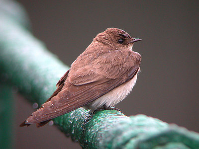 Nothern Rough-winged Swallow, Noordamerikaanse Ruwvleugelzwaluw, stelgidopteryx serripennis