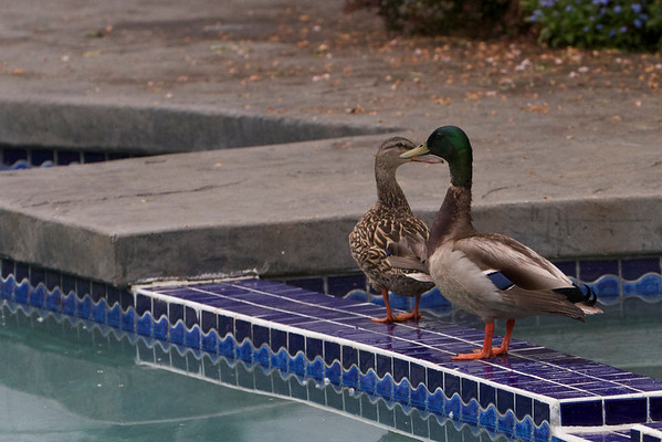 Pool Ducks
