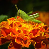 Macro photo of a Marigold bloom and a hitch-hiker taken near Bellville.