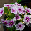 Phlox -- a delicate, yet hardy and prolific wildflower.