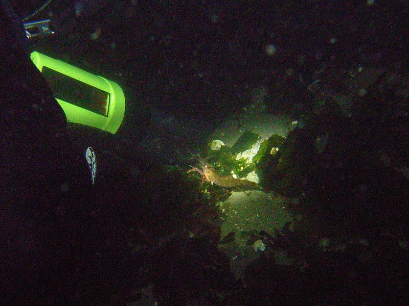 Shrimp (night dive)<br /> Bruce Higgins Underwater Park, 11/1/09