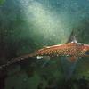 Ratfish (night dive)<br /> Bruce Higgins Underwater Park, 11/1/09