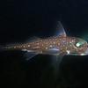 Ratfish (after some photoshopping)