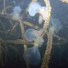Hooded Nudibranchs (night dive)<br /> Bruce Higgins Underwater Park, 9/27/09