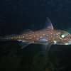 Ratfish (night dive)<br /> Bruce Higgins Underwater Park, 9/27/09