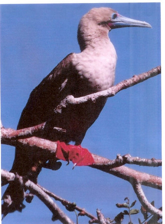 Red-footed Booby, Roodpoot Gent, Sula sula