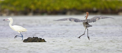 Reddish Egrets, showing both color morphs-photo by Scott Kacos