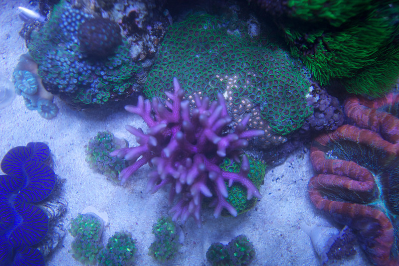 birdsnest colony (not for sale), eagle zoos and atomic greens on the rock i am willing to frag for interested parties