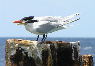 Royal Tern, largest, and Sandwich Tern- photo by Chris Powell