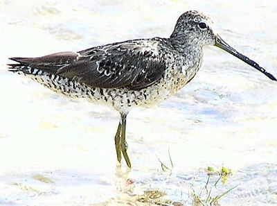 Short-billed Dowitcher by Jerry Ligon