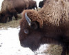 Buffalo in Errol<br /> 1/25/08