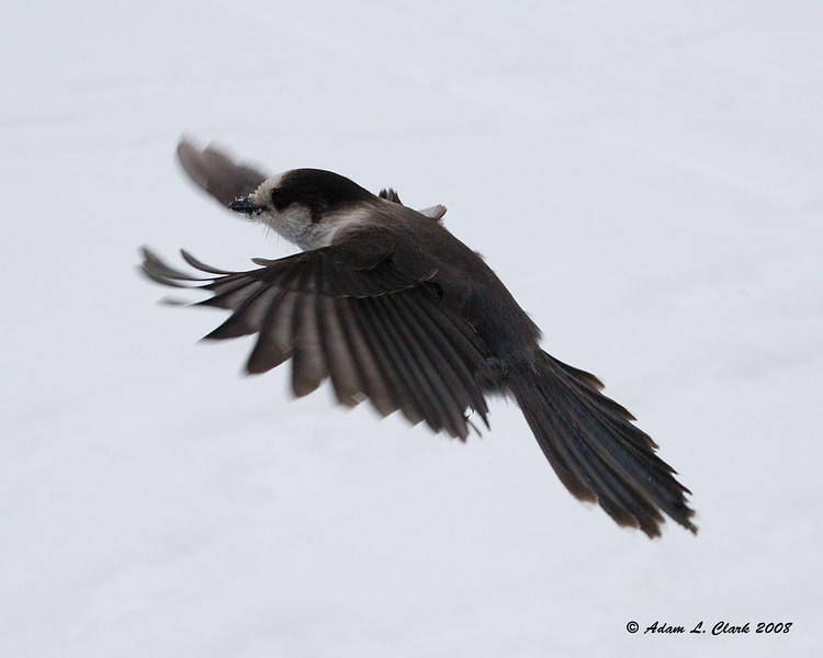 Canadian Jay in flight<br /> 2/9/08