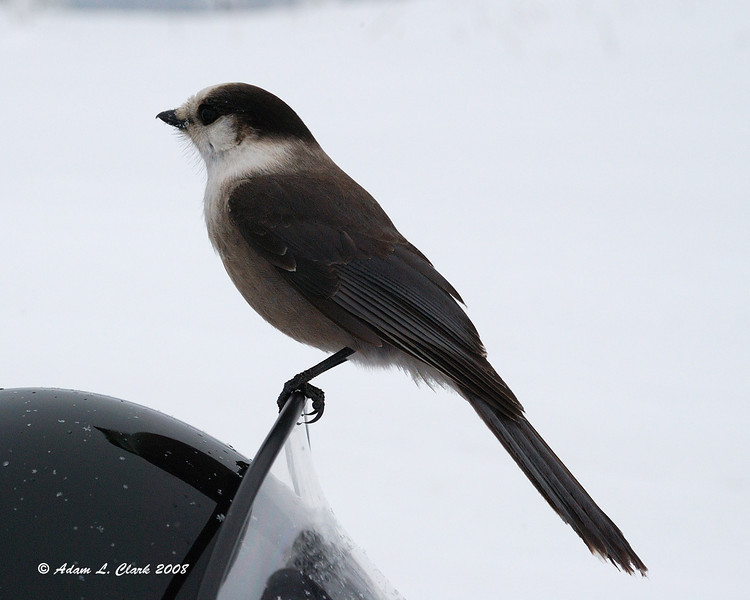 Canadian Jay on mom's windshield<br /> 2/9/08