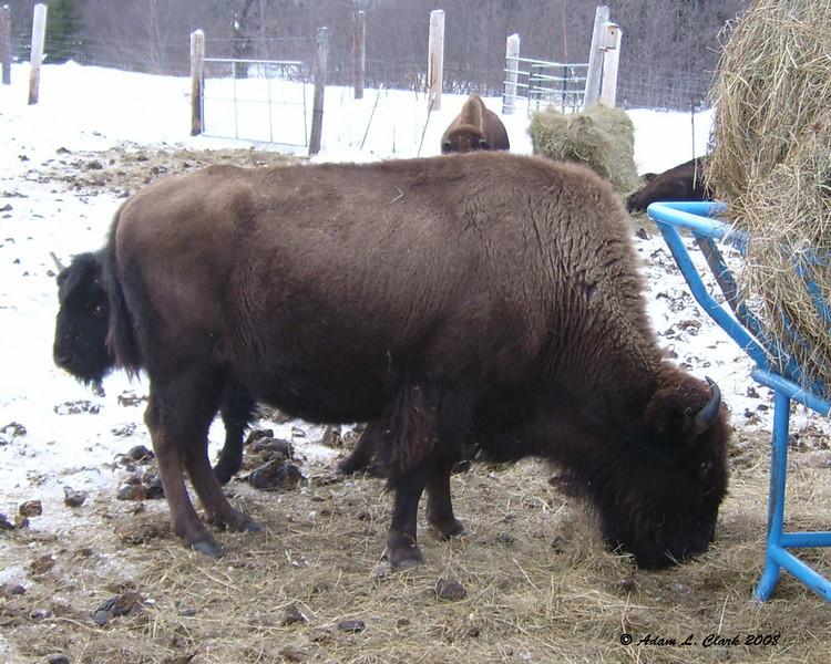 Buffalo in Errol<br /> 1/25/08