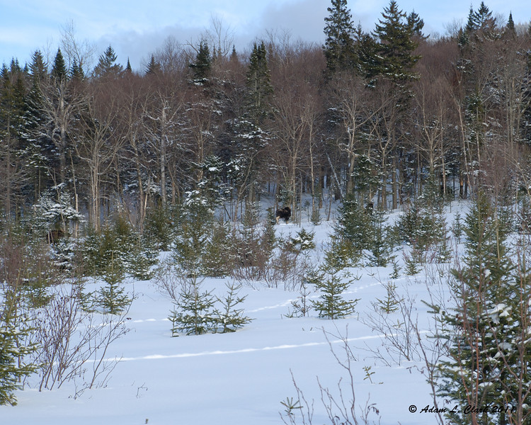 5 moose that were in a group together on the edge of a clear cut (the 4th is in the bushes hardly visible)