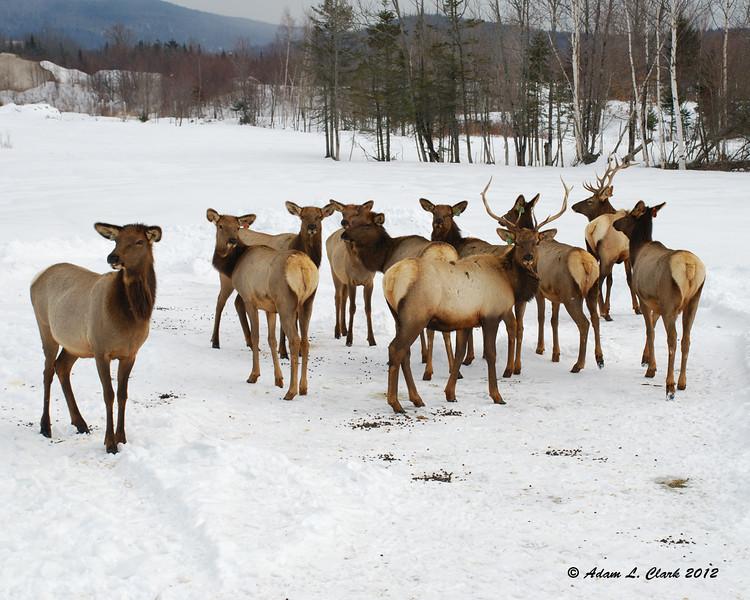 Elk in Errol