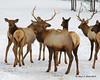Bull elk in Errol