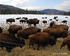 Buffalo in Errol
