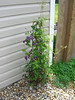 This Clematis survived all the construction and whatnot.  Needs a bigger trellis, and is being chewed by some kind of bug.  Mint on the right that well never go away.