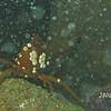 crab, Mukilteo T-dock, 1/10/08