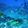 Lemon shark, Bora Bora, 11/08