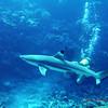 Blacktip shark, Bora Bora, 11/08