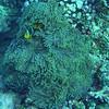 Clownfish, Moorea, 11/08