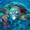 Sea turtle, Moorea, 11/08