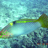 Parrotfish, Moorea, 11/08