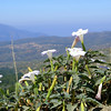 """Datura      <a href=""""http://en.wikipedia.org/wiki/Datura"""">http://en.wikipedia.org/wiki/Datura</a><br /> """"Most parts of the plants contain toxic hallucinogens, and Datura has a long history of use for causing delirious states and death. It was well known as an essential ingredient of love potions and witches' brews"""""""