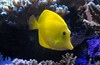 yellow tang Joe M