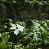 Dogwood flowers where all over