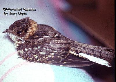 White-tailed Nightjar, male, taken by Jerry Ligon