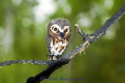 Northern Saw-whet Owl - Aegolius acadicus
