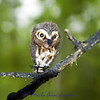 Northern Saw-whet Owl - Aegolius acadicus
