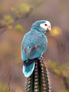 Yellow-shouldered Parrot, rare mutation causing blue feathers-photo taken on Bonaire in Feb., 2003