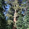 Grizzle Giant Tree