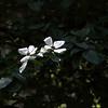 Dogwood flowersw